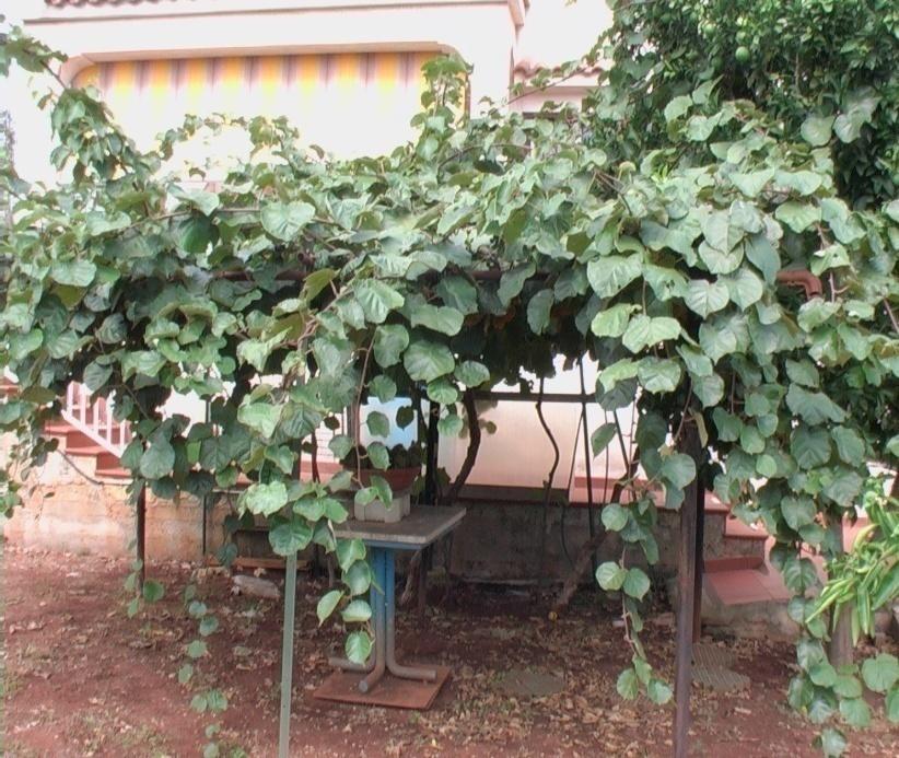 Actinidia o kiwi verdeostuni for Kiwi pianta