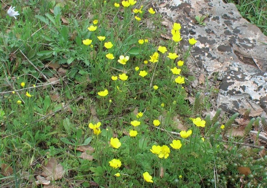 Adonide annua a fiore giallo