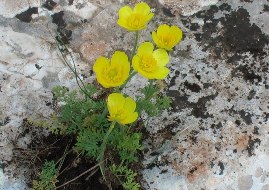 abbastanza Adonide annua a fiore giallo - VerdeOstuni AS46