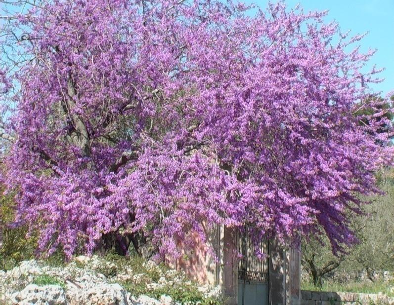 Albero di giuda verdeostuni - Alberi da giardino piccoli ...