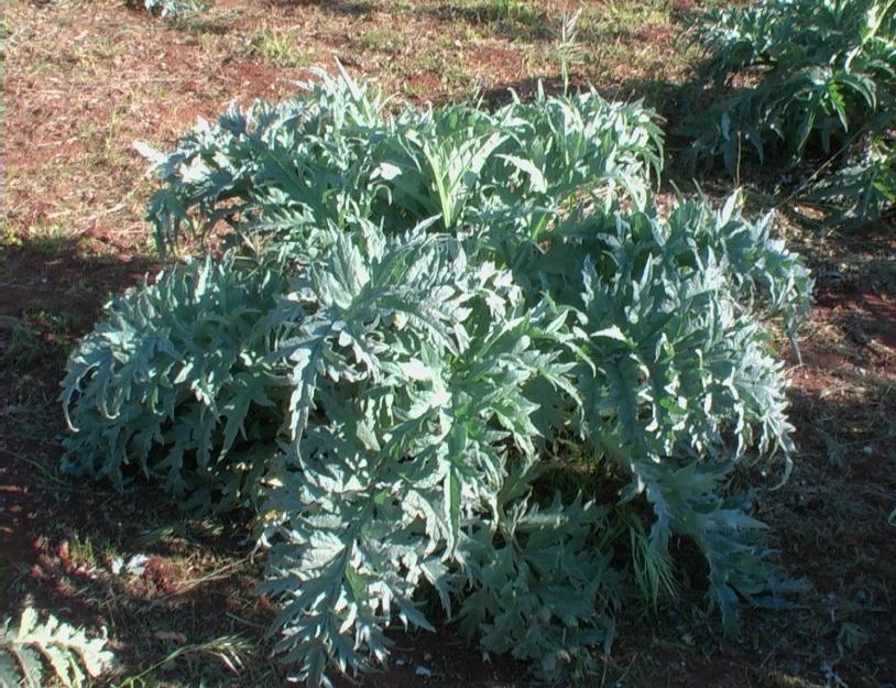 pianta carciofo