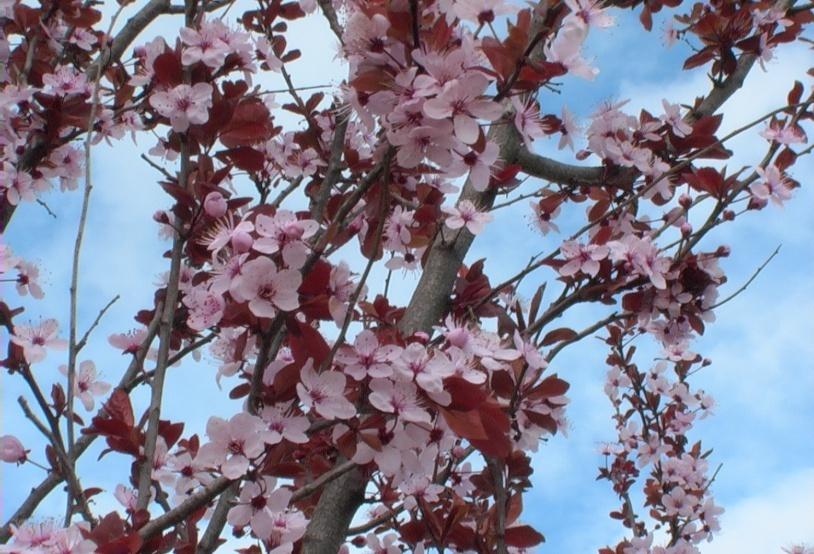 Ciliegio da fiore - VerdeOstuni