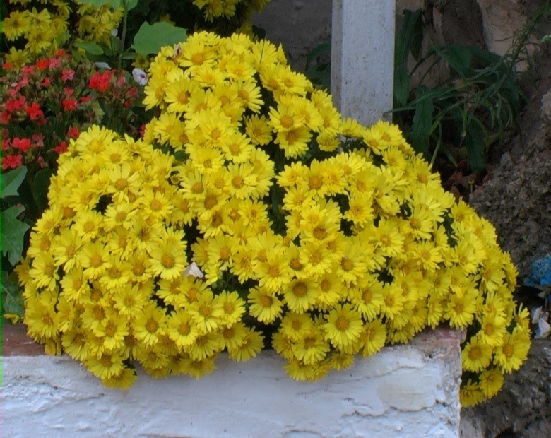 Crisantemo coreano verdeostuni - Crisantemi in vaso ...