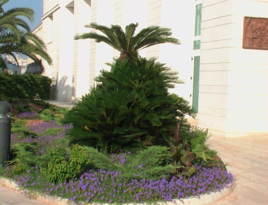 Cycas verdeostuni for Pianta cycas