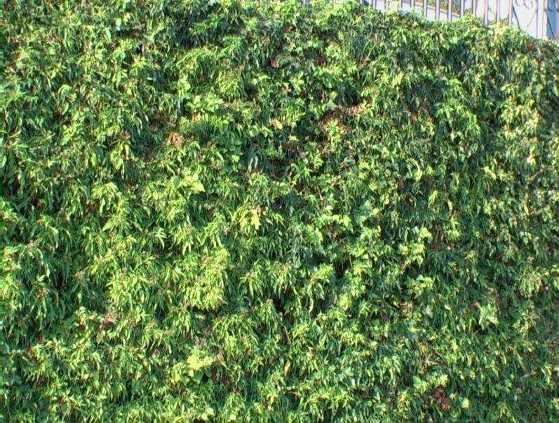 Edera comune in variet verdeostuni for Edera sempreverde