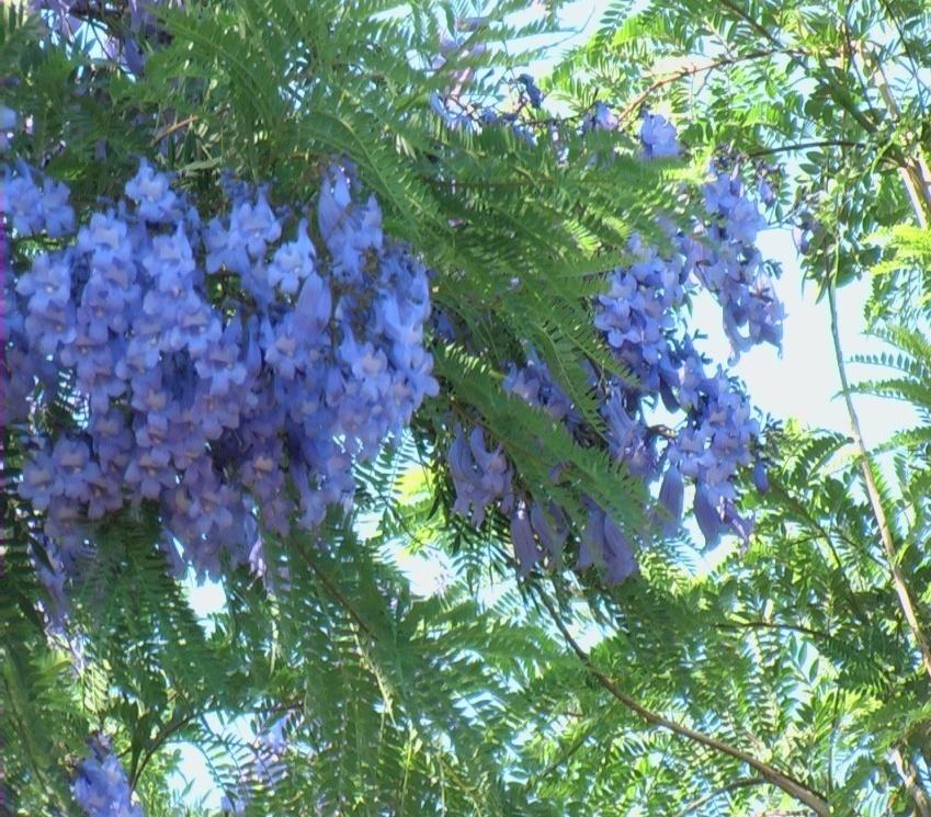 Falso palissandro verdeostuni for Catalogo piante e fiori