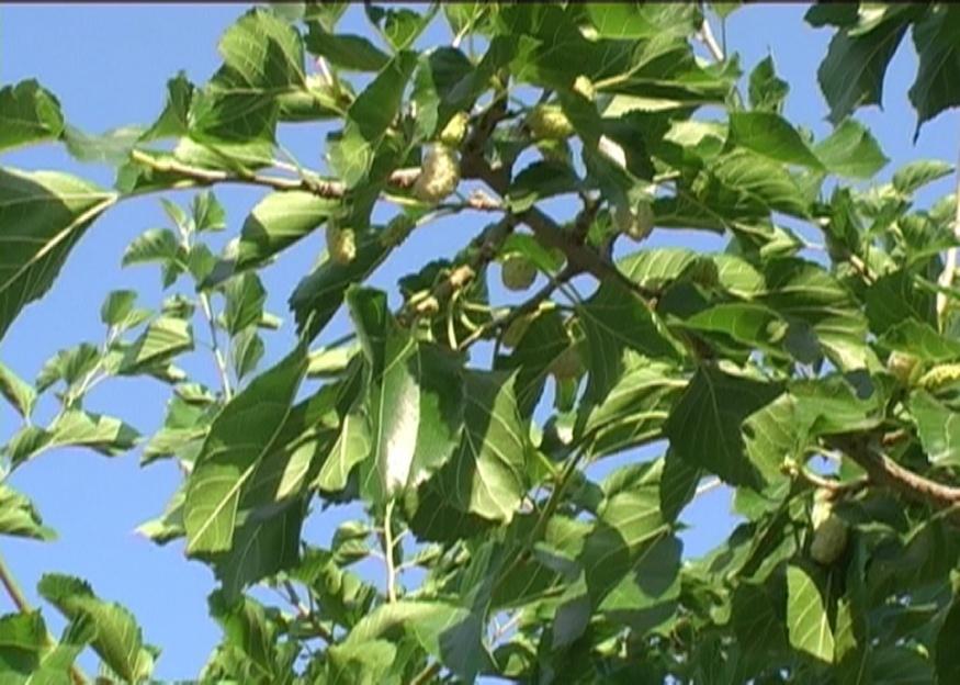 Gelso bianco verdeostuni for Gelso pianta