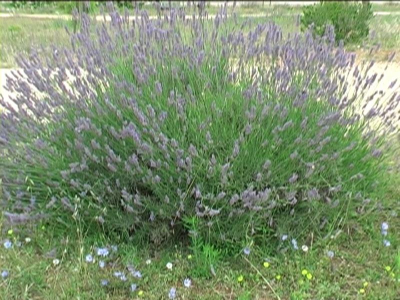Casa moderna roma italy arbusti sempreverdi da siepe for Arbusti da siepe