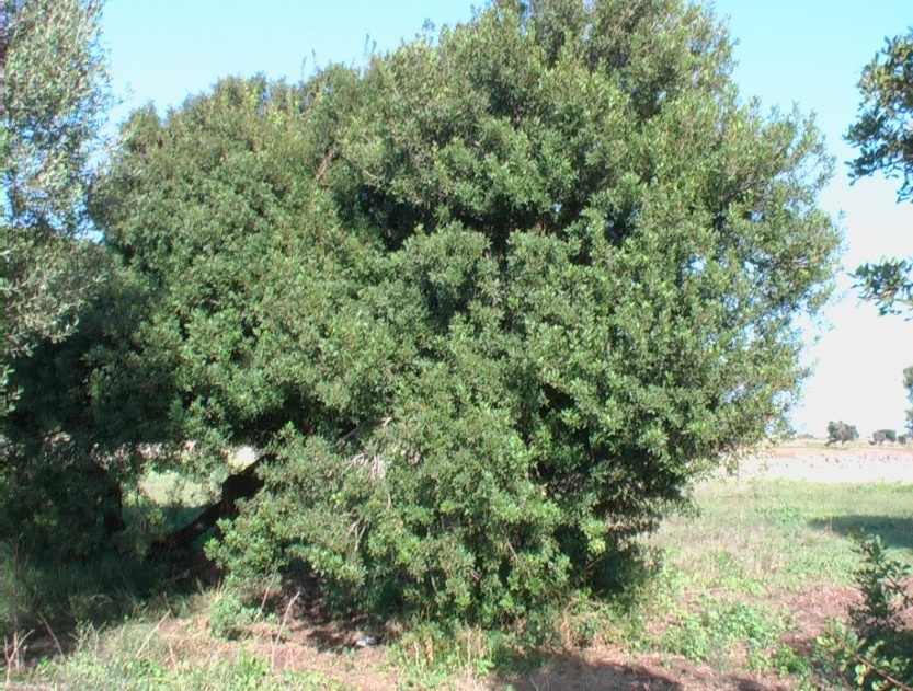 Lentisco verdeostuni for Pianta della foresta di pioppo