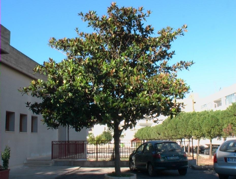 Magnolia verdeostuni for Magnolia pianta prezzi
