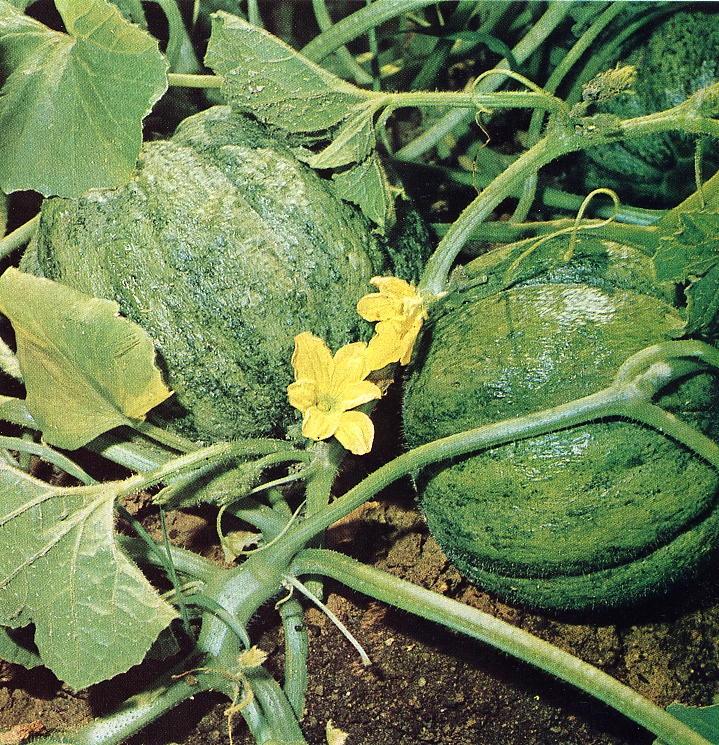 Melone verdeostuni for Pianta di melone