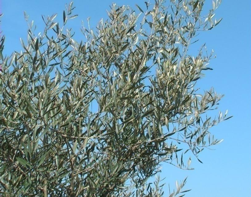 Piante Di Olivo : Olivastro o olivo selvatico verdeostuni