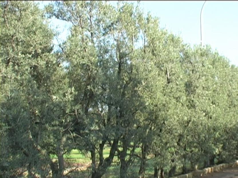 Olivo variet cipressino verdeostuni - Siepe di ulivo ...