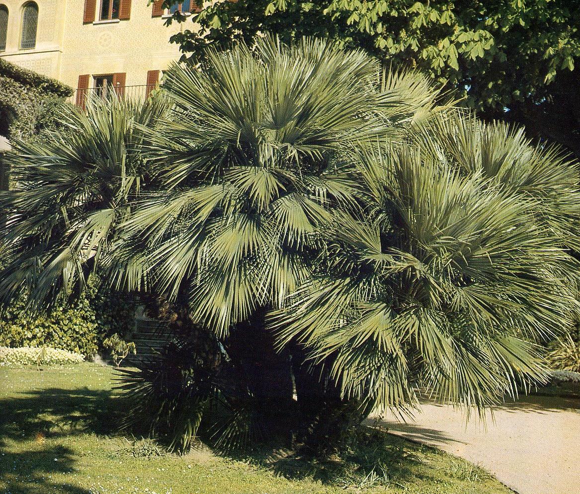 Palma nana o di s pietro verdeostuni for Pianta palma