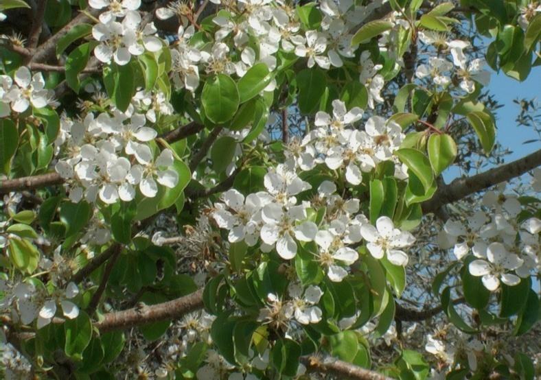 Pero verdeostuni for Catalogo piante e fiori