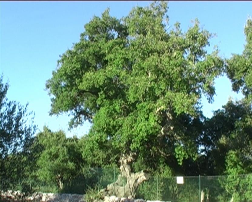 Quercia da sughero verdeostuni - Sughero pianta da giardino ...