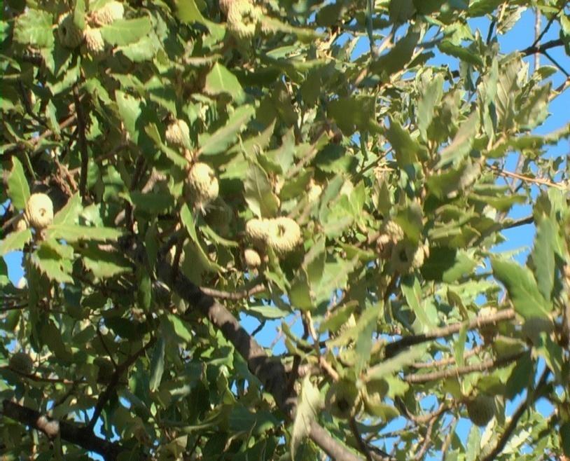 Quercia da sughero verdeostuni for Quercia sempreverde