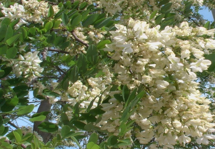 Robinia comune o acacia spinosa verdeostuni for Catalogo alberi da giardino