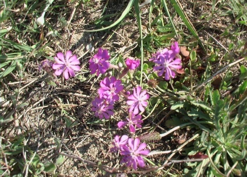 Silene colorata verdeostuni for Catalogo piante e fiori
