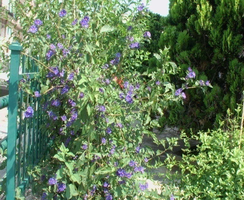 Solanum verdeostuni for Pianta solanum