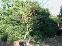 Acacia horrida o Acacia spinosa