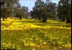 Acetosella gialla