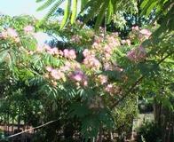 Albizia o Gaggia arborea