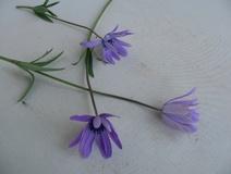 Anemone dei fioristi