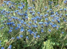 Arganetta azzurra