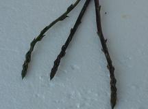 Asparago pungente