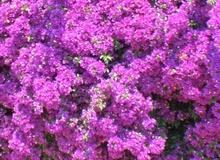 Bouganvillea glabra varietà sanderiana