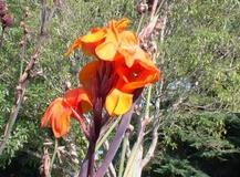 Canna fiorifera