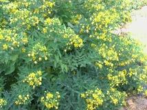 Cassia floribunda