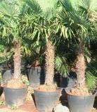 Chamaerops excelsa o Palma rustica