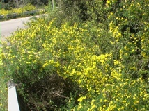 Cornetta dondolina