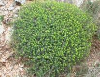 Euforbia spinosa