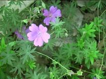 Geranium tuberosum