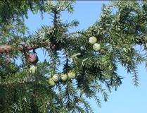 Ginepro coccolone