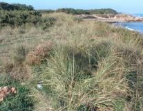 Gramigna delle spiagge
