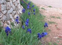 Iris barbate