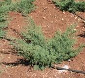 Juniperus pfizeriana aurea