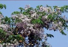 Melia o Albero dei rosari