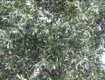Olivo varietà Bella di Cerignola