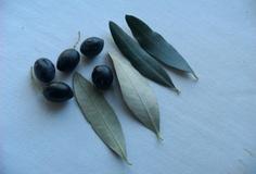 Olivo varietà Calabria