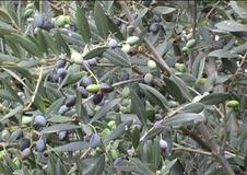 Olivo varietà Cellina di Nardò