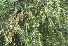 Olivo varietà Cima di Melfi
