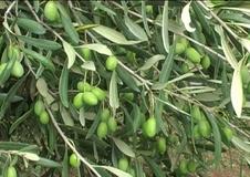 Olivo varietà Coratina