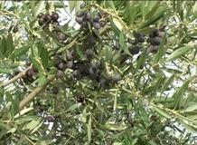 Olivo varietà Leccino