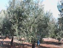 Olivo varietà Nociara