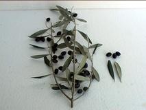 Olivo varietà Ogliarola di Lecce Chiarita